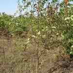Яблоня ягодная