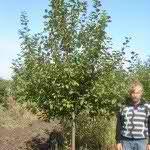 Яблоня сортовая 6-8 лет