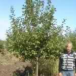 Яблоня  сортовая(6-8 лет)8000 р.